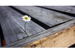 景深,花卉,植物,木,雏菊54238