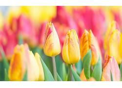 华美,花卉,植物,郁金香629952