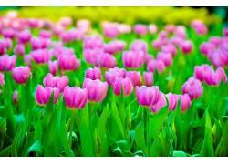华美,郁金香,花卉,植物529620