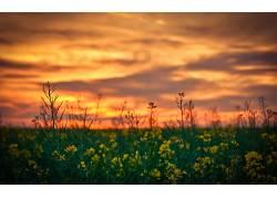 景深,黄色的花朵,日落,花卉,壁纸,菜子122898