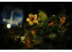 摄影,壁纸,宏,灯火,花卉,树叶,植物,背景虚化,黄色的花朵,水滴394