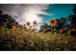 向日葵,华美,壁纸,花卉,植物569174