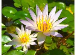 睡莲,花卉,树叶318059