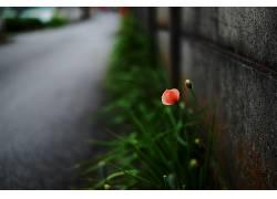 摄影,花卉,壁,植物,路,橙色的花朵,模糊,宏386384
