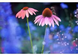 植物,蓝色,花卉,宏,壁纸,华美567571