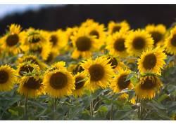 向日葵,花卉,植物,黄色的花朵560770