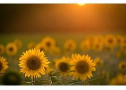 向日葵,花卉,领域,黄色的花朵,阳光559306