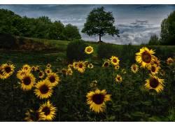向日葵,花卉,黄色的花朵,领域,植物559293