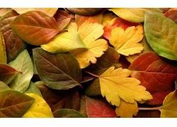 树叶,植物,华美,秋季655651