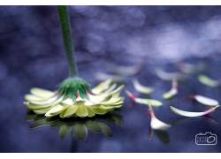 紫色,花卉,非洲菊,植物,树叶,壁纸537789