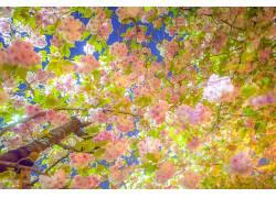 摄影,花卉,樱花154666