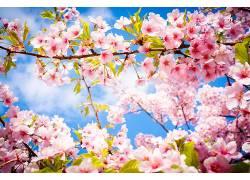 摄影,花卉,樱花154667
