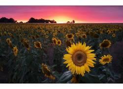 向日葵,领域,花卉,植物621598