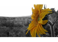 向日葵,黄色,太阳,花卉,黑色,选择性着色334854