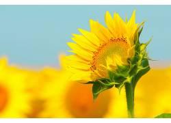 向日葵,黄色,花卉580873