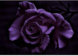 摄影,花卉,玫瑰,紫色的花朵,植物153323