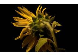 向日葵,黑暗,黄色,花卉,植物546664