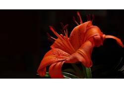 摄影,花卉,百合156238