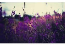 植物,薰衣草,花卉,紫色的花朵,景深,壁纸338067