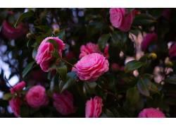 摄影,花卉,粉红玫瑰317214