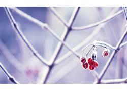 摄影,壁纸,植物,宏,霜,树枝,浆果328608