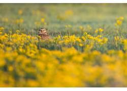 摄影,花卉,领域,鸟类,猫头鹰,看着观众,黄色的花朵383985