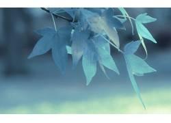 树叶,壁纸,蓝色,植物10689