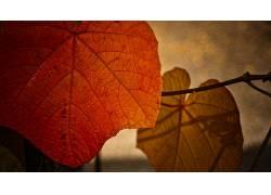 树叶,宏,植物116071图片