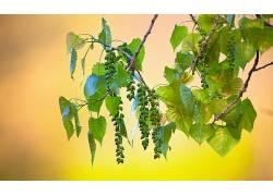 摄影,壁纸,植物,树叶,水果327307