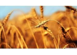 小麦,小穗,景深,植物,背景虚化103965