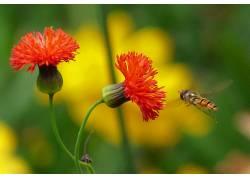 植物,昆虫,橙色的花朵,宏,花卉,蜜蜂338020