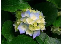 绣球,树叶,花卉,植物72985
