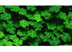 绿色,三叶草,树叶,壁纸,植物44359图片