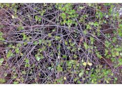 树叶,植物215642图片