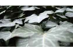 树叶,植物439822图片