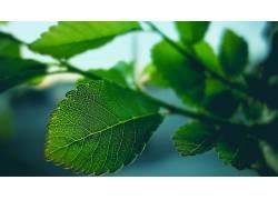 树叶,植物441373图片