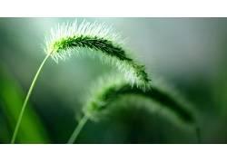 新鲜,壁纸,绿色,植物,宏,小穗212929