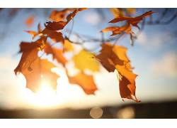 树叶,秋季,阳光,特写,壁纸,植物,摄影,景深26383