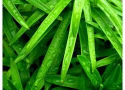 树叶,绿色,植物,摄影,水滴,露107944