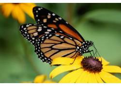 昆虫,花卉,黄色的花朵,蝴蝶29985