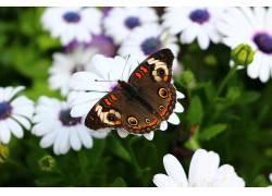 昆虫,鳞翅类,花卉,宏321781