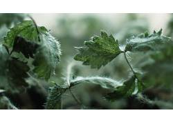 绿色,霜,植物,壁纸,树叶,宏,景深,荨麻,摄影159703