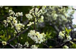 树叶,花卉,白花,树枝,壁纸,植物,科60491