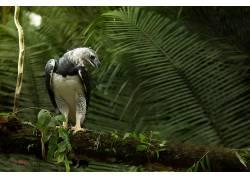 摄影,壁纸,鹰,植物,树叶,鸟类,猎人,白色,harpy eagle406416