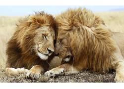 动物,狮子,大猫,性质7618