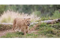动物,狮子,小动物227328