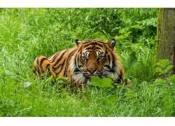 动物,虎,大猫,性质,绿色291329
