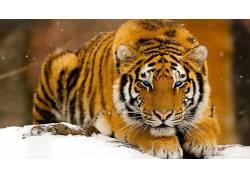 动物,虎,大猫,数字艺术2656