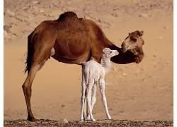 动物,骆驼,小动物,砂173275