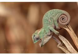 变色龙,爬行动物163052